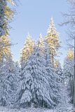 Snow covered forest Stock Photos