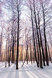 The snow-covered forest  in winter park. Stock Photos