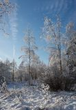 snow covered forest in winter/Snowy fir trees in winter forest a royalty free stock image