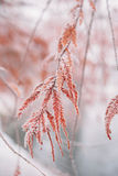 Snow-covered frozen japanese branches Stock Image