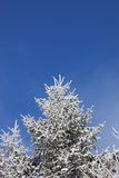 Snow-covered fur-tree Stock Photography