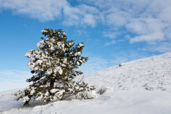 Snow-covered fur-tree Royalty Free Stock Images