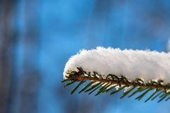 Snow covered fur tree branch close-up under the rays of the spring sun Stock Image