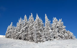 Snow-covered fur-trees Royalty Free Stock Photography