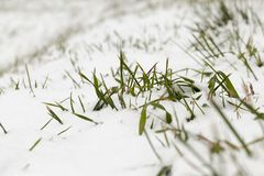 Snow-covered grass closeup. Snow-covered green leaves of grass. Photographed close-up Royalty Free Stock Photography