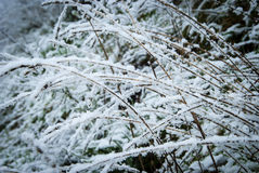 Snow covered grass. Grass weeping down under the weight of snow Royalty Free Stock Photo