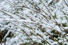 Snow covered grass. Grass weeping down under the weight of snow Stock Photo