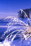 Snow covered grasses Stock Image