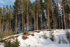 Snow-covered gravel pit in pine forest Royalty Free Stock Image