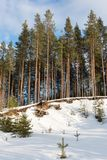 Snow-covered gravel pit in pine forest Royalty Free Stock Photo