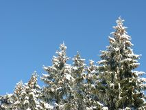 Snow-covered green fir-trees. Winter frosty cloudless day, snow-covered green spruce trees on a background of a cloudless winter sky Stock Photo