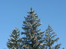 Snow-covered green fir-trees. Winter frosty cloudless day, snow-covered green spruce trees on a background of a cloudless winter sky Royalty Free Stock Photo