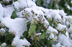 Snow covered green grape vines royalty free stock photos