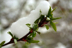 Image result for Green buds on snow