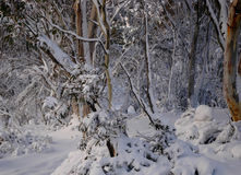 Snow-covered gum trees. A clsoe-up of an Australian forest covered in snow Royalty Free Stock Photos