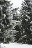 Snow covered. Heavy snow covering spruce trees in the Carpathians Royalty Free Stock Images