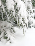 Snow-covered hemlock branches Royalty Free Stock Image