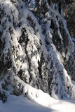 Snow-covered hemlocks. Heavy snowfall on graceful evergreen branches Royalty Free Stock Photos