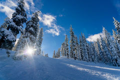 Snow covered hillside with pines Stock Image