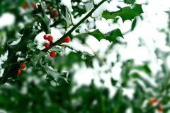 Snow covered holly bush Royalty Free Stock Image