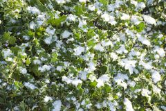 Snow covered holly Royalty Free Stock Photo