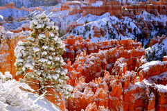 Snow covered hoodoos and pine trees Stock Photo