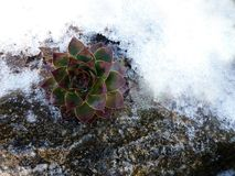Snow covered houseleek winter, succulents stock photography