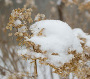 Snow covered hydrangea Royalty Free Stock Photo
