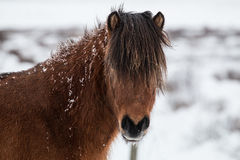 Snow Covered Icelandic Horse. Looking Through Long Unkept Mane. Brown and black, front facing with white ice and snowy background. Rugged, tough wild breed Stock Photo