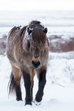 Snow Covered Icelandic Horse. Looking Through Long Unkept Mane. Brown, tan, grey, and black, front facing with white ice and snowy background. Rugged, tough Stock Photos