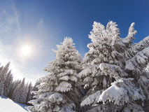 Snow covered and icy spruces on the sun Stock Image