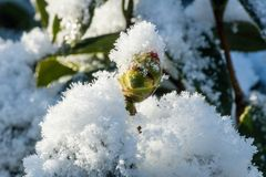 Snow covered japanese camellia bud in winter stock photos