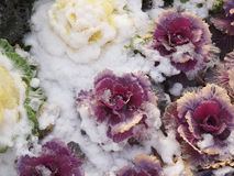 Snow covered Kale. Kale is listed as one of the world`s healthiest food stock photography