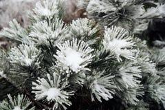 Snow-covered Kiefer Stockfotografie
