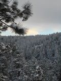 Snow-covered Kiefer Stockfotos