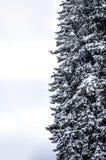 Snow-covered Kiefer Lizenzfreies Stockbild