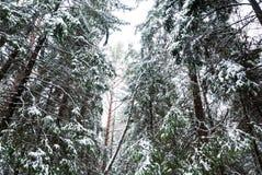 Snow-covered Kieferbäume Lizenzfreie Stockbilder
