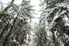 Snow-covered Kieferbäume Lizenzfreie Stockfotos