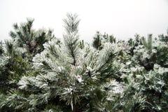 Snow-covered Kieferbäume Lizenzfreies Stockbild