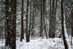 Snow-covered Kieferwald Stockbilder