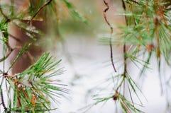Snow-covered Kieferzweig Stockfotografie