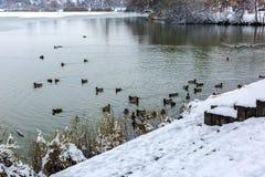 Snow covered lake shore. Flock of wild ducks, male and female, swim in winter lake. Salt lake, Nyiregyhaza, Hungary. Snow covered lake shore. Flock of wild ducks stock photo