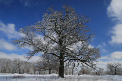Snow covered large tree Royalty Free Stock Image