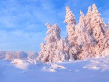 From the snow covered lawn there is a view to nice trees covered by frost and snow. Light pink sun rays of sunset. From the snow covered lawn there is a view to royalty free stock photo