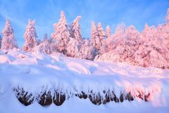 From the snow covered lawn there is a view to nice trees covered by frost and snow. Light pink sun rays of sunset. From the snow covered lawn there is a view to royalty free stock image