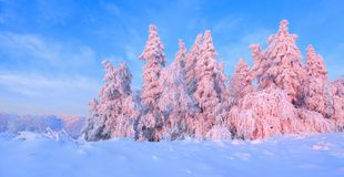 From the snow covered lawn there is a view to nice trees covered by frost and snow. Light pink sun rays of sunset. From the snow covered lawn there is a view to stock photography
