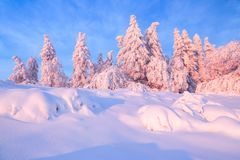 From the snow covered lawn there is a view to nice trees covered by frost and snow. Light pink sun rays of sunset. From the snow covered lawn there is a view to royalty free stock photography