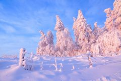 From the snow covered lawn there is a view to nice trees covered by frost and snow. Light pink sun rays of sunset. From the snow covered lawn there is a view to stock images
