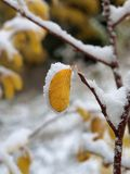 Snow covered leaf. Early Autumn snow on single leaf and branch Stock Photos