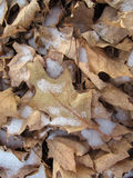 Snow Covered Leaf Royalty Free Stock Image